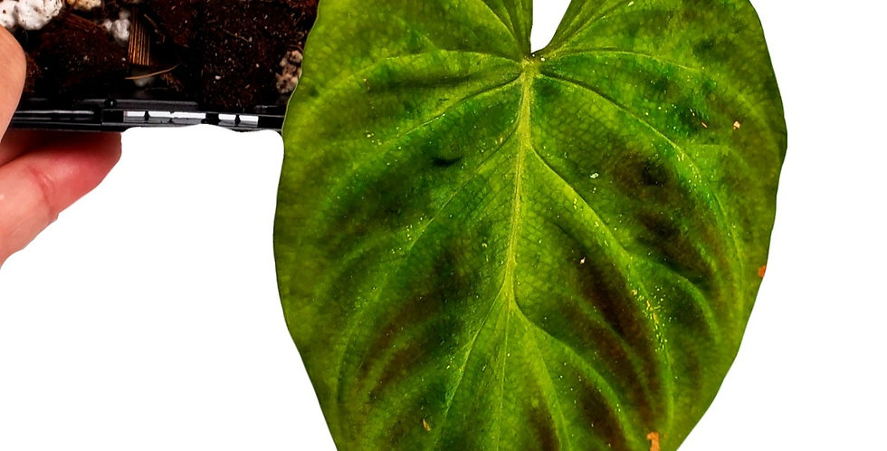 Philodendron Verrucosum (with 1 more leaf emerging)
