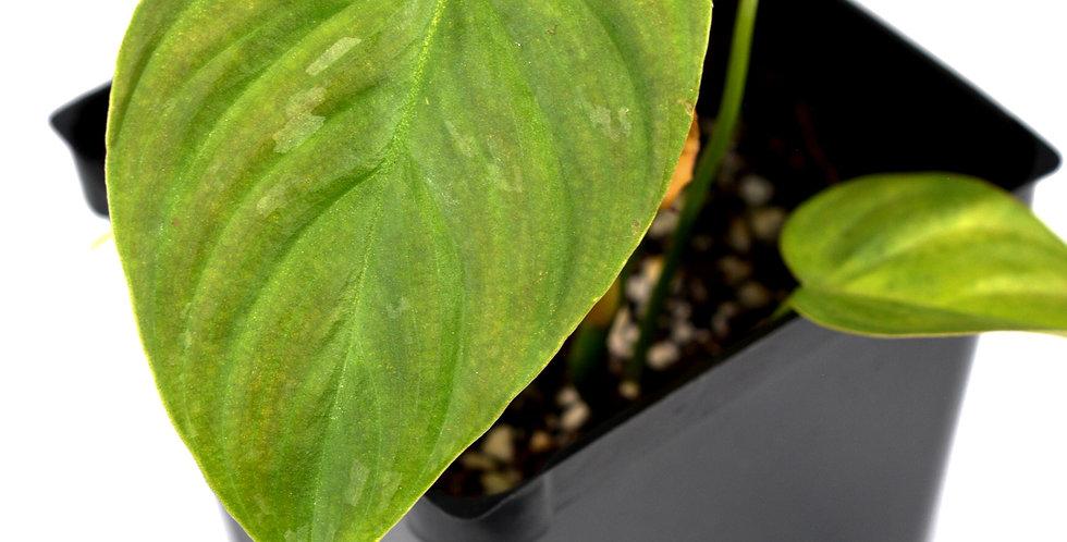 Philodendron Majestic Hybrid (Verrucosum x Sodiroi) Very Rare
