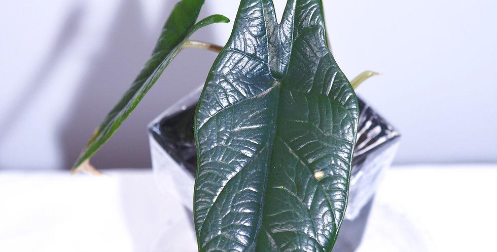 Alocasia Scalprum