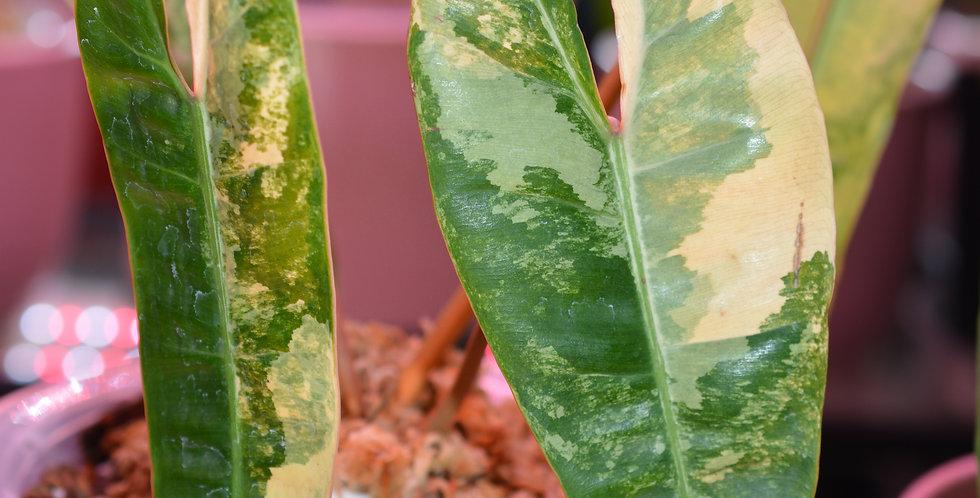 Philodendron billietiae variegata (011)