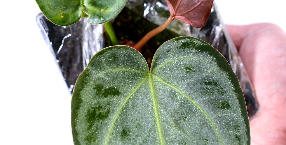 Anthurium Chrystallinum - Silver Splash