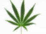 Cannabis sativa leaf.PNG