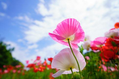 くりはま花の国 ポピー