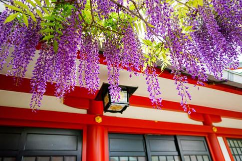 日枝神社の藤の花