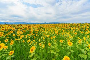 上富良野のひまわり畑