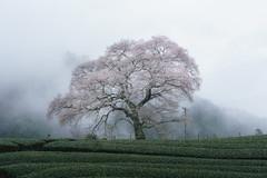 牛代の水目桜と雲海