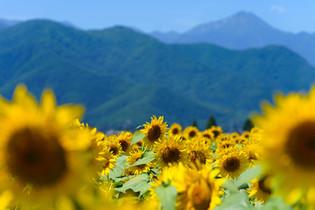 北アルプスを背景に咲く向日葵