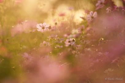 夕陽の中の秋桜