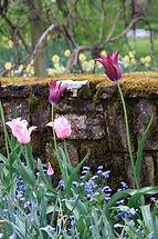ros tulpaner mot en stenmur, mossa, förgätmigej, blå blommor