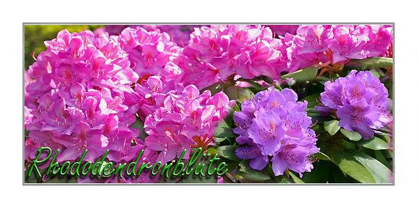 Rhododendronblüte.jpg