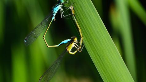 Libellenpaar.jpg