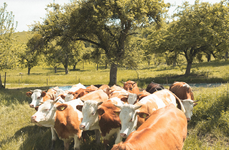LEITHELD_2019_DOKU_FARM_Cows_digital.jpg
