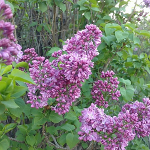 1st Annual Lilac Festival