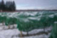 Icewine Netting