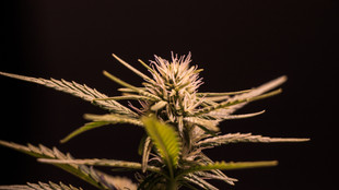 The Wonderful World of Cannabis
