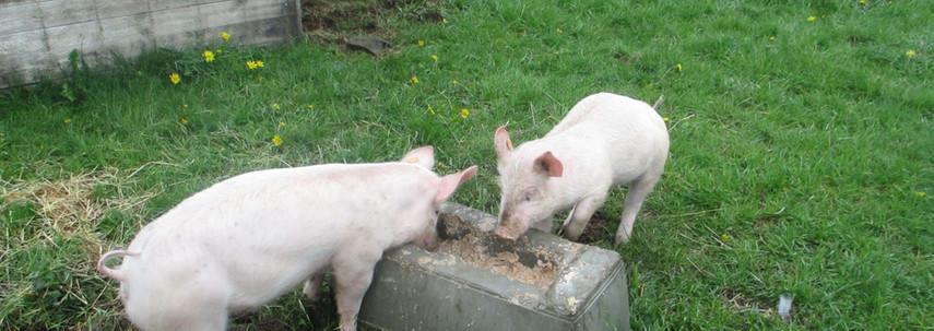 Nos cochons
