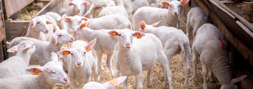 Nos agneaux