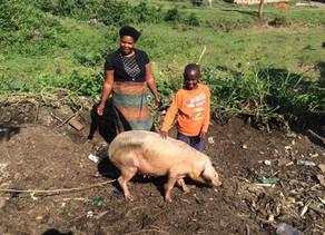 Pigs for Davis