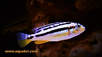Tank Mates for Yellow Lab Cichlids