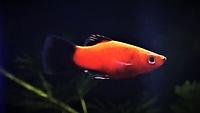Platy fish _ www.aquakri.com