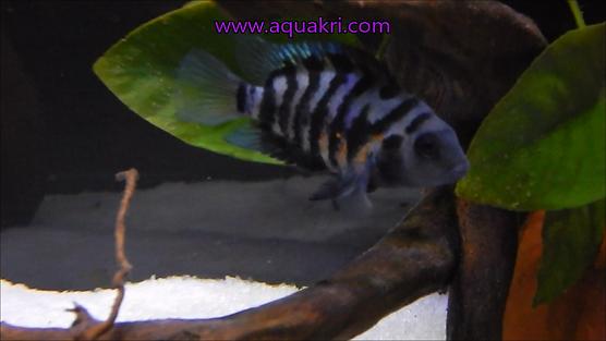 Female Convict Cichlid