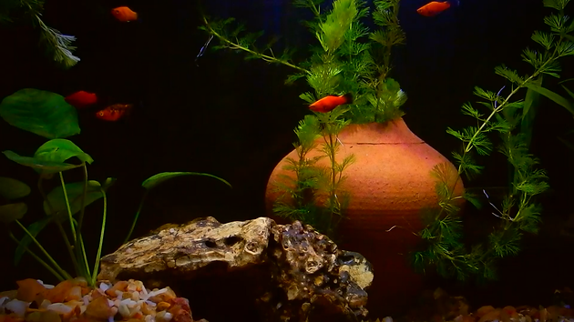 Platy fish aquarium decoration