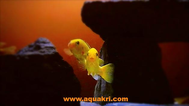 Breeding Yellow Lab Cichlids