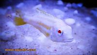 Albino Auratus | www.aquakri.com