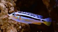 Female Auratus Cichlid _ www.aquakri_edi