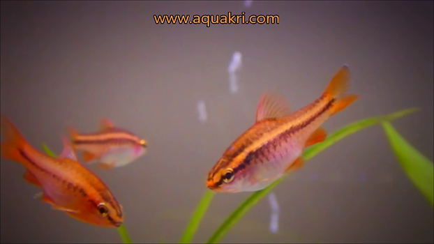 Breeding Cherry Barbs | aquakri