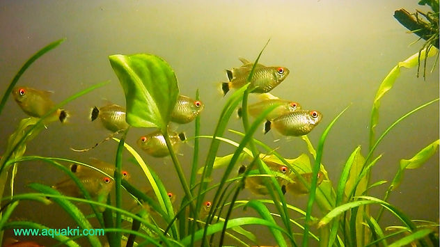 Red Eye Tetra Aquarium Care