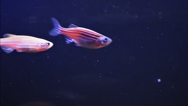 Male & Female Zebra Fish | www.aqakri.com