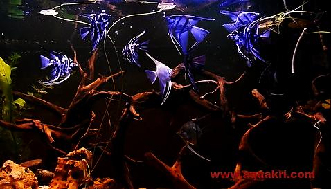 angelfish | www.aquaakri.com