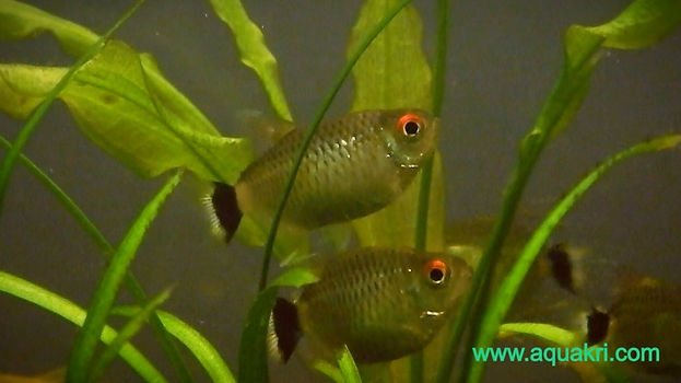 Breeding Red Eye Tetra