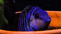 Convict Cichlid Care | aquakri