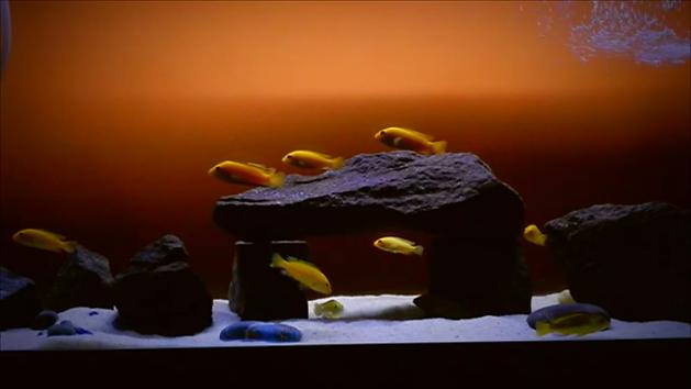 Elctric Yellow Lab Cichlid Aquarium Care
