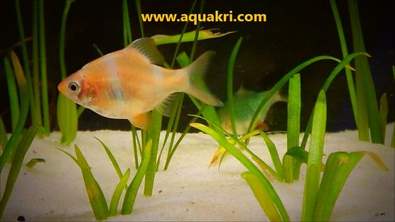 Albino Tiger Barb | www.aquakri.com