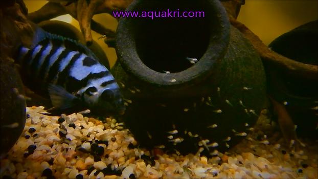 Breeding convict cichlids & fry