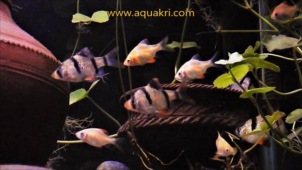 Tiger Barb Aquarium | www.aquakri.com