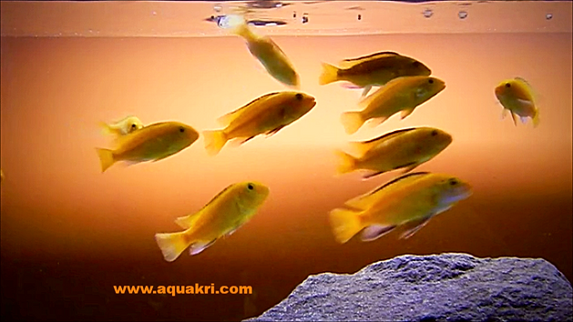What to Feed Yellow Lab Cichlids
