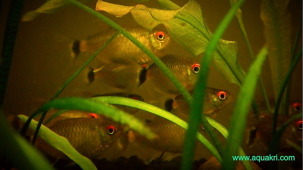 Red Eye Tetra Fry Care