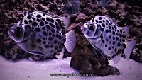 Scat fish _ www.aquakri.com