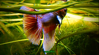 Labyrinths | Elephant Ear betta | aquakri