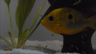 Orange Chromide Male guarding his fry
