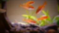 Cherry Barb Aquarium Care | aquakri