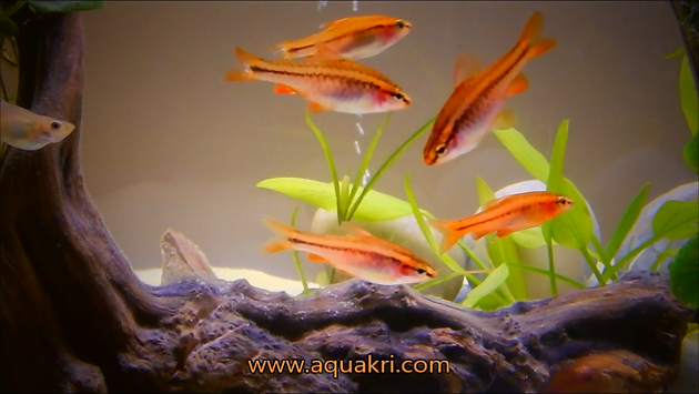 Cherry Barb Aquarium Care | aquakri