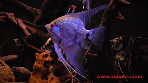 Fish Profile at www.aquakri.com