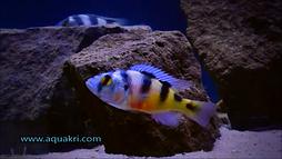 Zebra Obliquidens _ www.aquakri.com