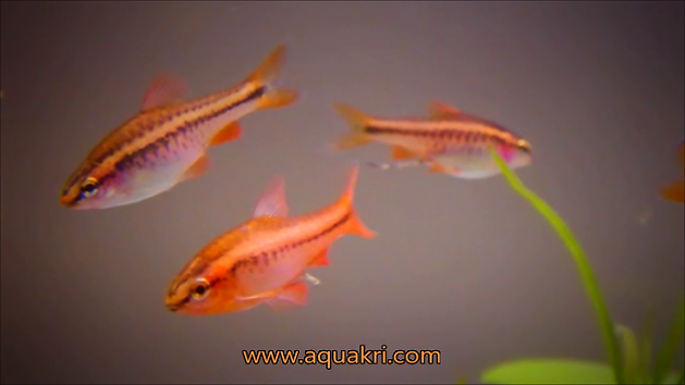 Male & Female Cherry Barb | aquakri