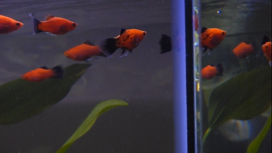 Wag Tail Platy Fish